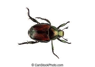 japonés, escarabajo, Peste, -, Popillia, japonica