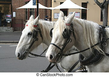 Draught Horses