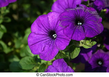 Purple Petunias - A close-up of several petunia blooms