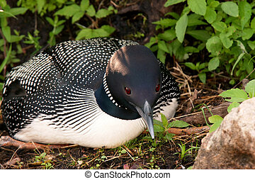 Closeup of Common Loon on Nest - Closeup of a Common Loon on...