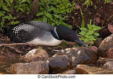 Common Loon on Nest - Common Loon on nest in Northern...
