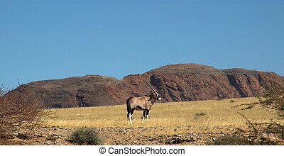 Oryx in the desert - Oryx capture in the namib naukluft park...