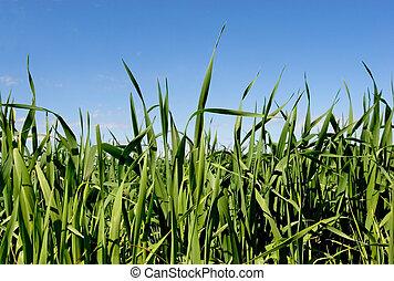 Grass & Blue Sky2 - Green grass and blue sky