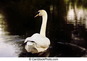 swan - delicate swan swimming in the lake