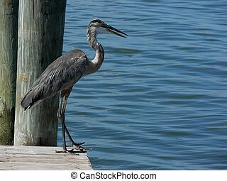 standing blue heron - Ardea herodias, great blue heron at...