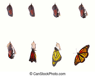 Butterfly Emerging - Monarch butterfly emerging from...