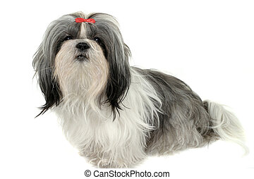 Shih Tzu Puppy 1 - Young Shih Tzu puppy dog. Shot isolated...