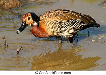 White-faced duck - African white-faced duck foraging in...