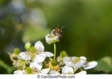 collect the honey - bee on the flower