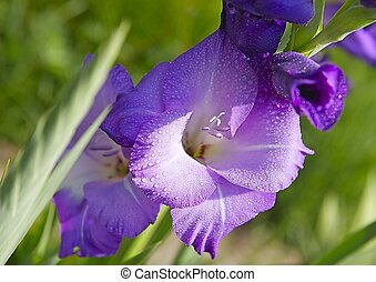 gladiolus in the garden