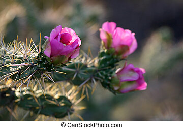 Backlit Cholla - Delicate, pink cholla blossoms contrast...