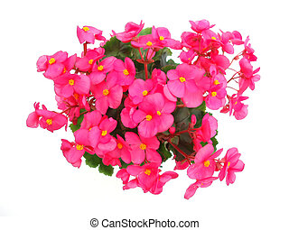 Red begonia on white background