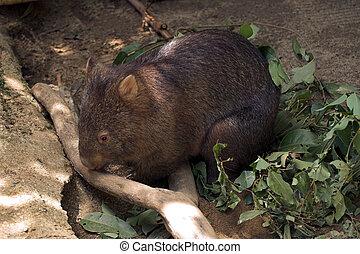 Wombat, Queensland, Australia