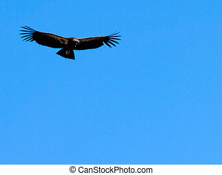 condor in flight - condor flying against blue sky