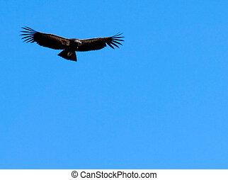 condor in flight - condor flying against blue sky