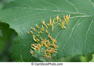 Leaf Damage by Mites - Spiny growths stimulated by eriophyid...