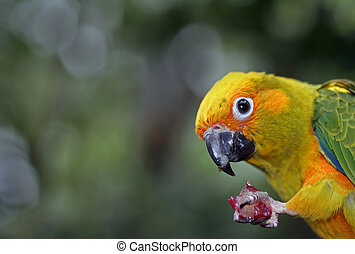 sun conure - eating a grape