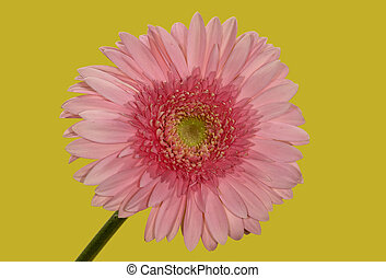 Pink Flower - Photo of a Pink Flower - Carnation