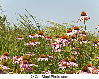 Cone Flowers - A field of cone flowers and grasses at a...