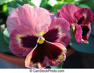 Roggli Giant Pansies - A couple of pinkish pansies called...