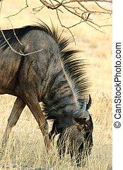 Grazing gnu - Portrait of a grazing gnu,