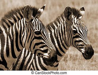 Zebra foals in Africa