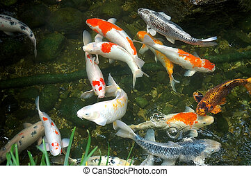 carp fish in a pond