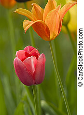 Tulipan - a couple of nice flowers against a green...