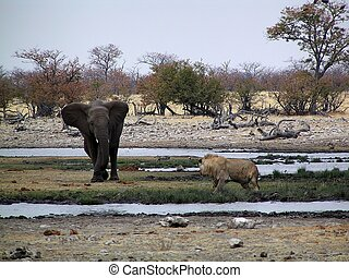 Elephant vs lion - The elephant is chasing away a half adult...