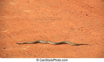 Snake on the sand pad - A mull snake is lyin on a red sand...