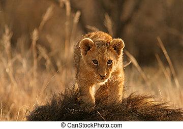 león, cachorro