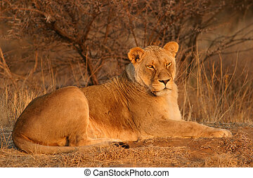 Lioness lying down in early morning light, South Africa