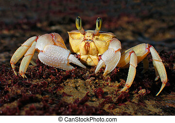 Sand crab - Alert sand crab, southern Africa