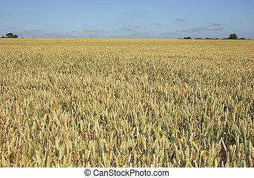 wheat field - A wheat field