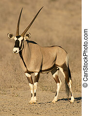 Gemsbok antelope (Oryx), desert adapted antelope of the...