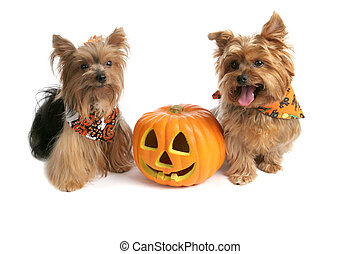 Yorkies At Halloween - Two adorable yorkies with a halloween...