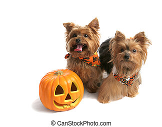 Yorkies and Pumpkin - Two adorable yorkie siblings dressed...