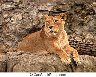 Lioness - A wild animal