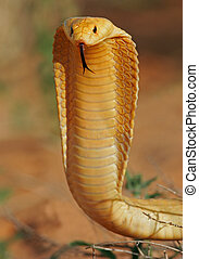 Cape cobra - Aggressive Cape cobra with flattened hood,...