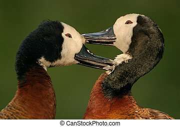 White-faced ducks - Preening African white-faced ducks