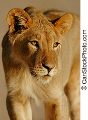 Young lion - Portrait of a young lion, South Africa