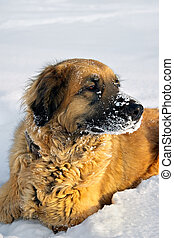 Dog on a fluffy snow - Dogs with a dense wool very much like...