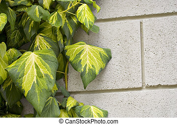 Ivy clinging to a wall with room for copy
