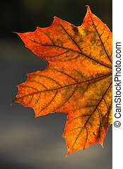 Brightly shone leaf - In beams of the morning autumn sun the...