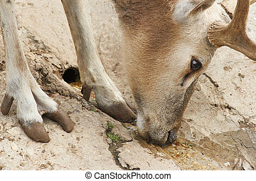 The European noble deer quenching its thirst