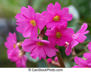 Primula rosea on the watersides of my garden pond.