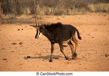 sable antelope calf - sable antelope are very rare in...