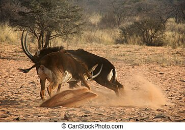 Fighting sable antelopes - Sand is flying the horns going...