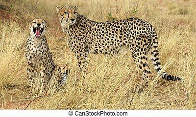 Teeth of a cheetah - A little bit bored ?