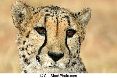 Hypnotic cheetah - Big brown eyes of a cheetah